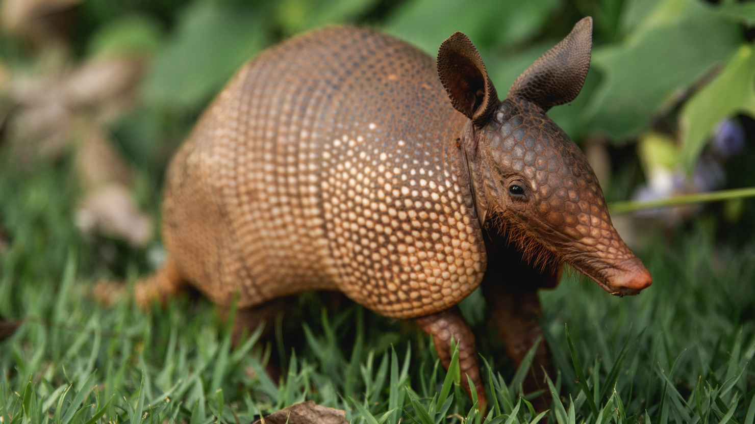 Two Armadillos' Strife | A More Positive Perspective